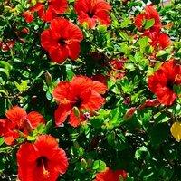 Hibiscus Rosasinensis/ Javakusum