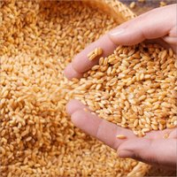 High Grade Wheat Grain