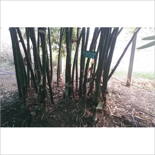 Bamboo Seedlings
