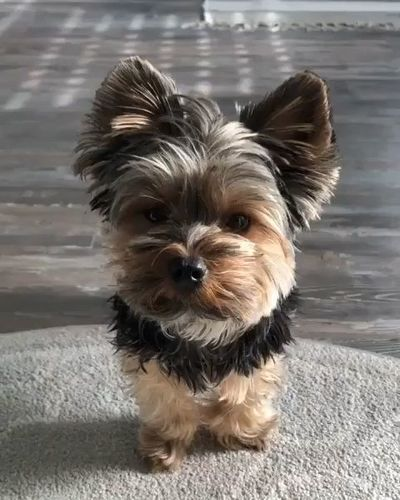 Yorkie black and golden