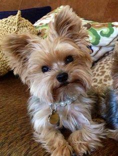 Yorkie Golden puppy