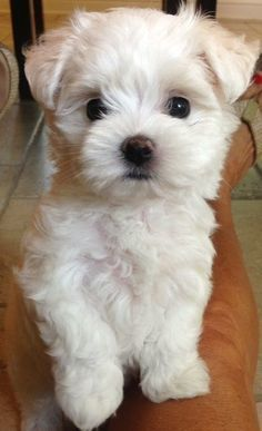 Yorkshire Terrier pearl white