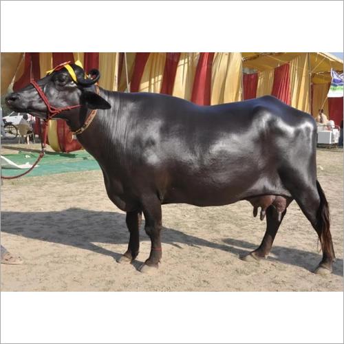 Pure Murrah Buffalo