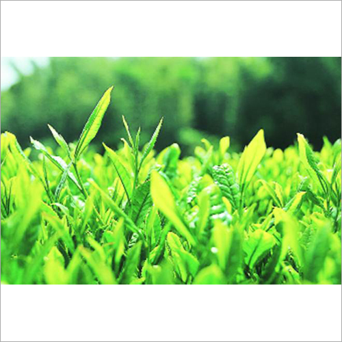 Darjeeling Fresh Tea Leaves
