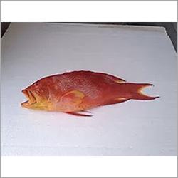 Corel Trout Fish