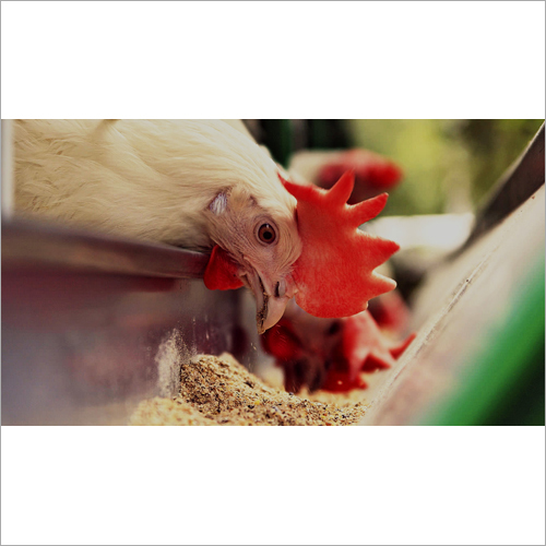 Poultry Feed For Layers and Broilers