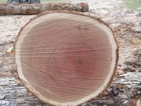 Red and white Oak Timber logs For Sale