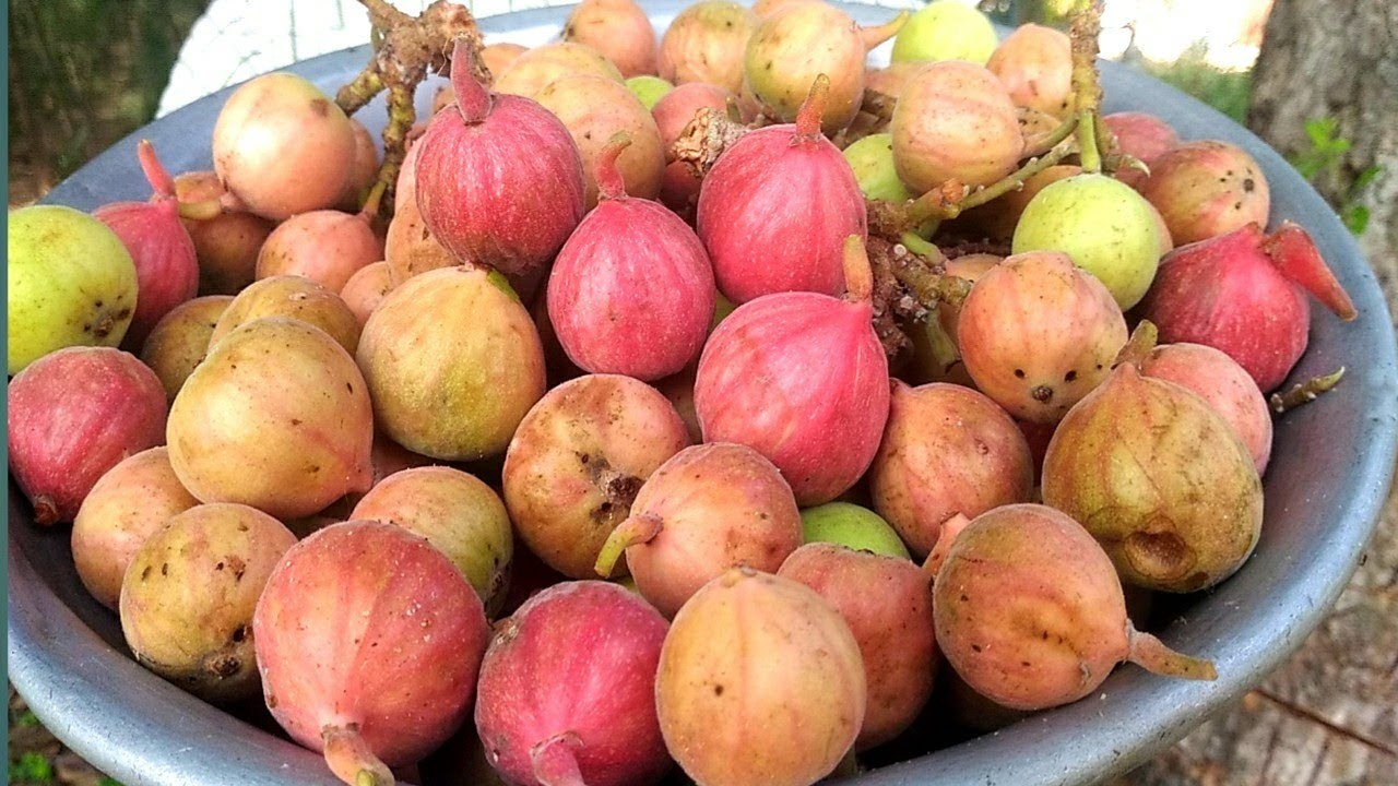 Fresh Fig Fruit - Athipazham - Fresh Quality Anjeer
