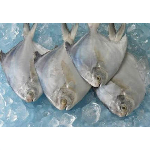 Frozen Pomfret Fish