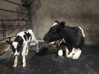 cow mat
