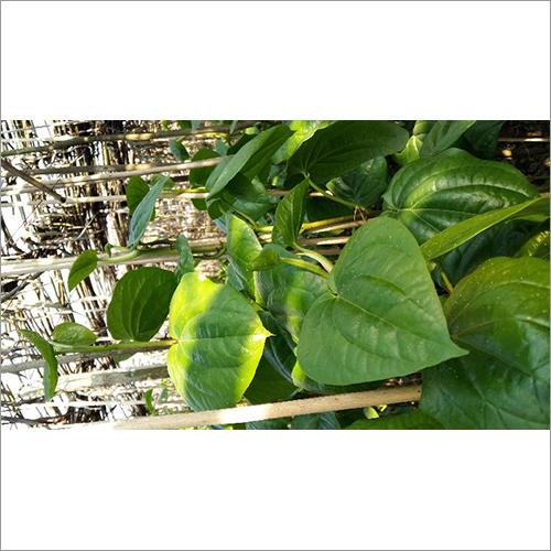Kali Bangla Betel Leaves