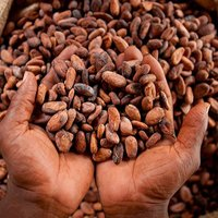 Dried Cocoa Beans(Beans, Juice