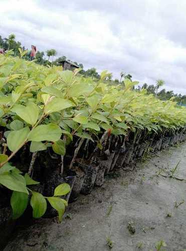 THAI  BAO APPLE BER PLANT