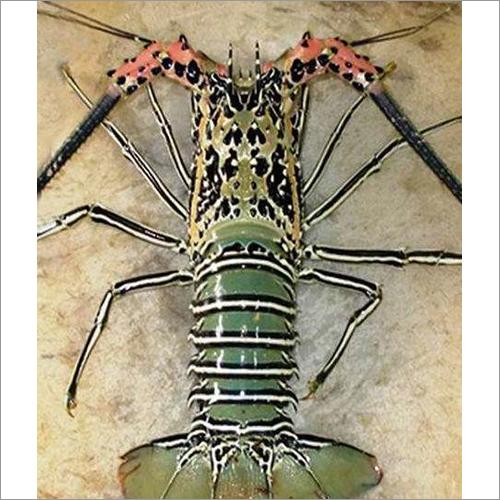 Rock Lobster (Titan)