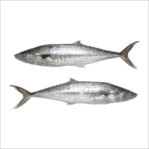 Seer Fish (King Fish Surmai  Chapari)