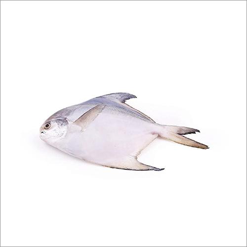 Silver Pomfret (Paplet)