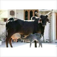 Pure Kankrej Cow