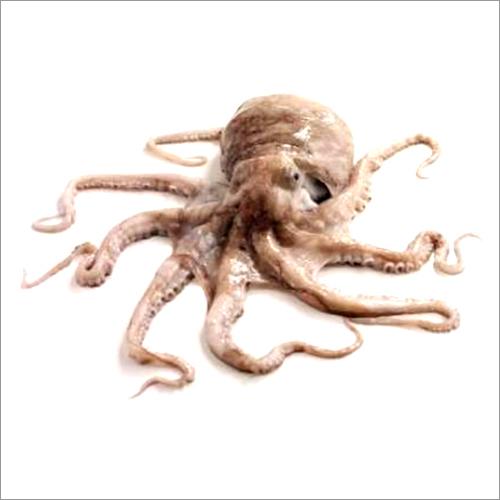 Octopus (Salak)