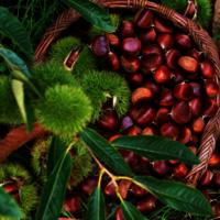 Malabar Chestnut for sale