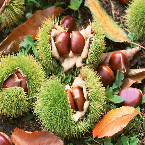 Sweet Chestnut Sale Price