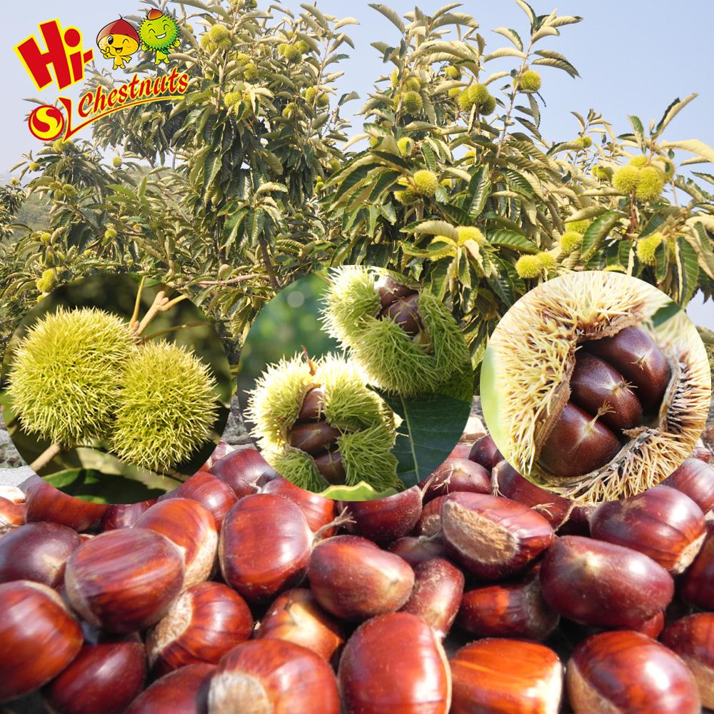 Premium Malabar Chestnut