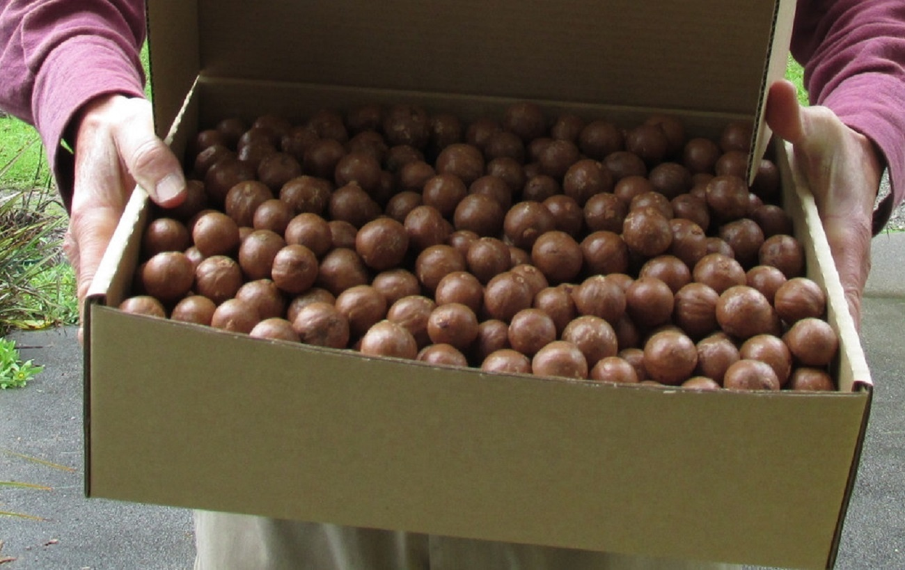 High Quality Macadamia Nuts With Shell