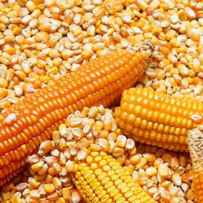 Feed Corn Yellow Sweet Corn