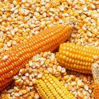 Feed Corn Yellow Sweet Corn