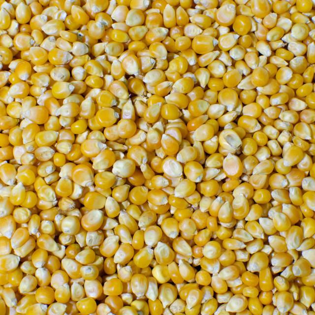 Yellow corn yellow Maize Product of Tanzania