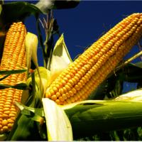 Yellow Corn for Popcorn,Yellow Popcorn NON-GMO and GMO Popcorn