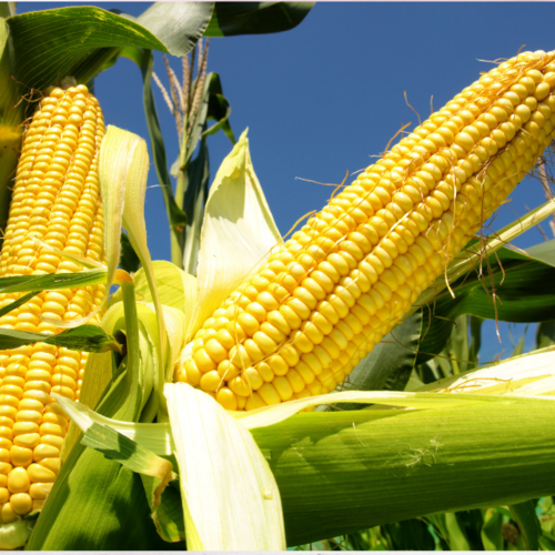 Grade 1 Non Gmo White And Yellow Corn/maize