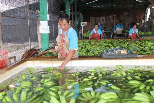 Organic Natural Green Cavendish Banana