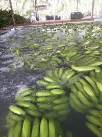 Fresh Style And Tropical & Sub-tropical Fruit Kind Cavendish Banana