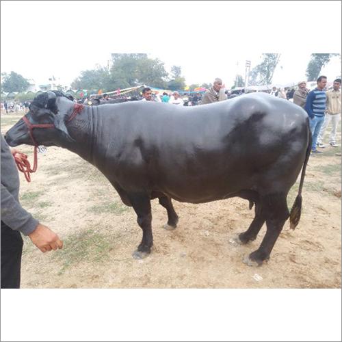 Indian Murrah Buffalo
