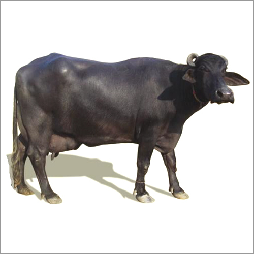 Best Breed Murrah Buffalo