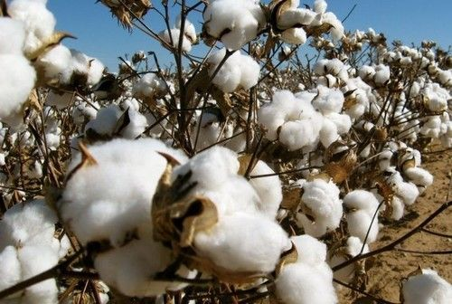 Excellent Grade A 100% Organic Raw Cotton