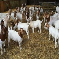 Live Pure Breed Boer Goat