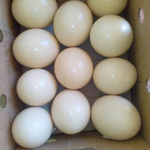 High Quality Fertile Ostrich Eggs