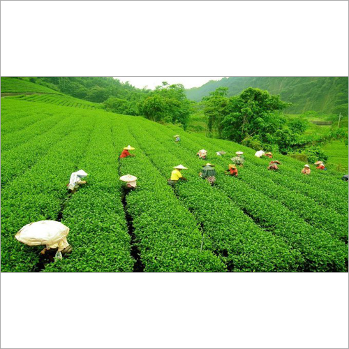 Assam Tea Product