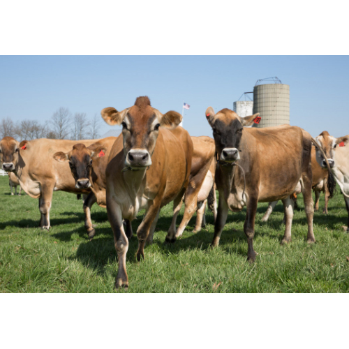 High Milk Capacity Jersey Cattle