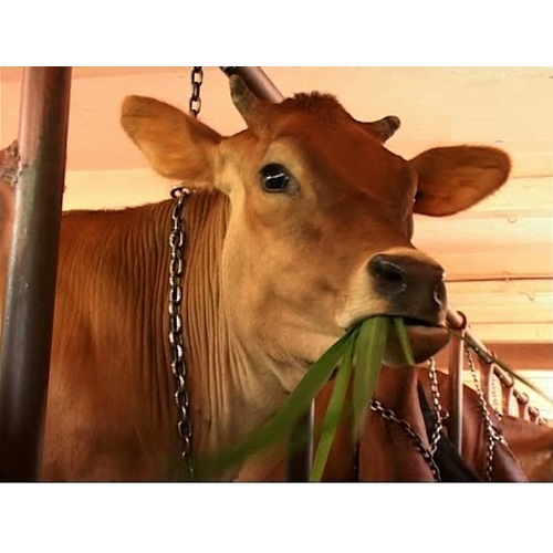 Pure Jersey Cow Breead