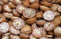 Whole Betel Nut