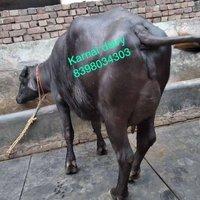 Haryana Murrha Buffalo
