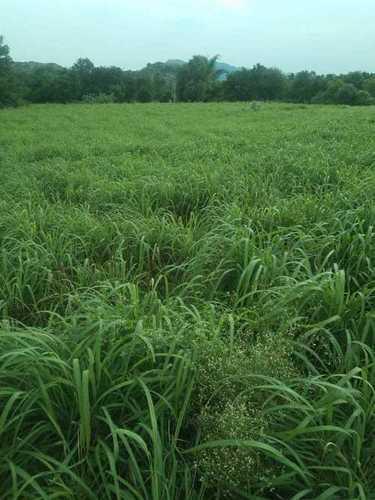 Ginger Grass Oil