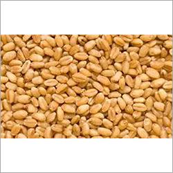 Fresh Wheat