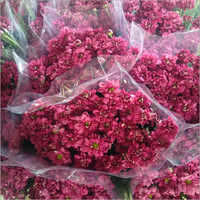 Red Alyssum Flower