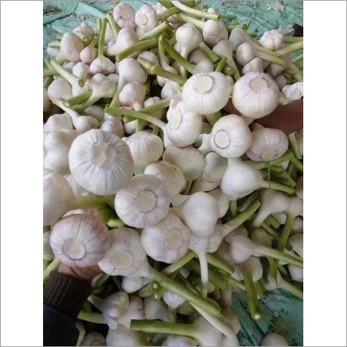 White Fresh Garlic
