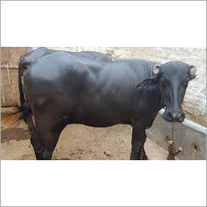 High Milk Capacity Murrah Buffalo
