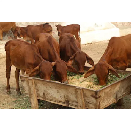 Dairy Sahiwal Cattle