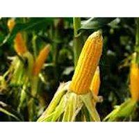 Maize Cone